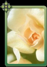 Tilla Aston Rose